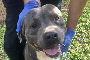 Blue: Hi I'm Blue. I'm a male Pitbull mix. I have been at the shelter since 12/18 and I am 3 years old. I weigh 58.8 pounds and I am negative for all canine diseases. I have been microchipped, dewormed, and vaccinated against rabies. I do well on a leash and I love to be pet! My ID number is #113327