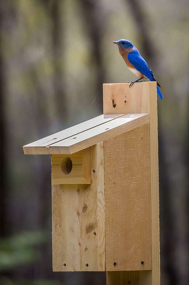 Learn to build a bluebird nesting box to attract these pretty birds to your yard. Photo: Contributed Photo