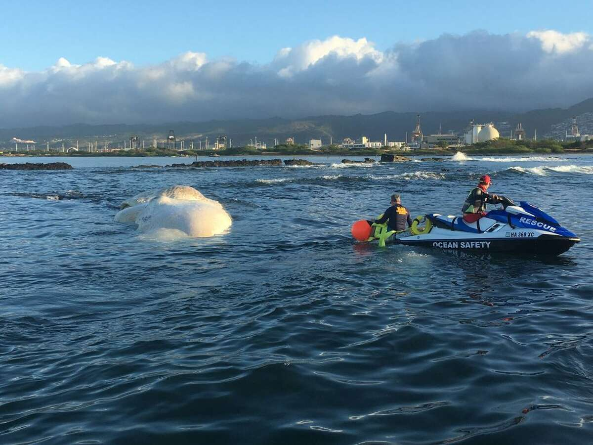 A sperm whale carcass has been lingering off the coast of Hawaii's Oahu island since at least Jan. 20, 2019.