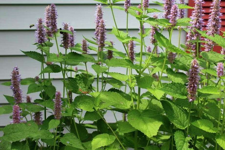 Anise hyssop is the 2019 Herb of the Year. (Photo provided/Donna Frawley)