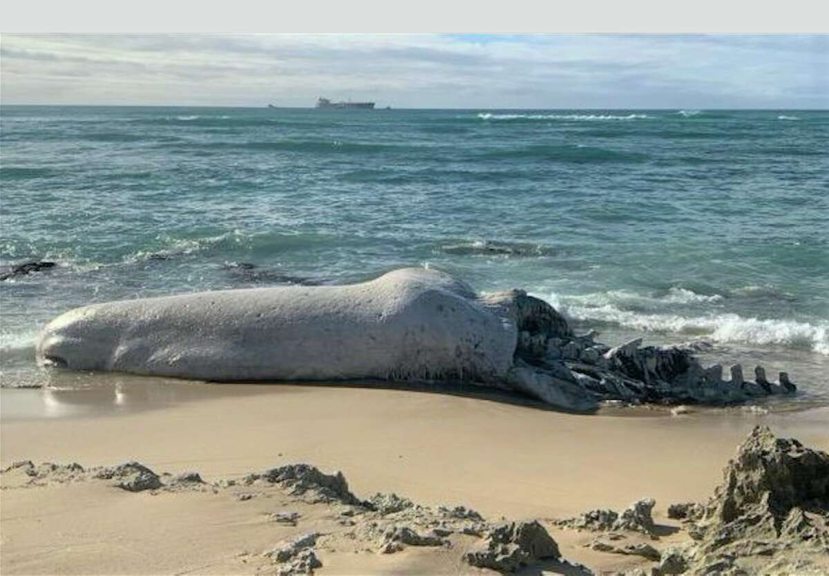 Scientists performed a necropsy on a sperm whale carcass that washed up on Hawaii's Oahu island. Photos were taken with a NOAA permit.
