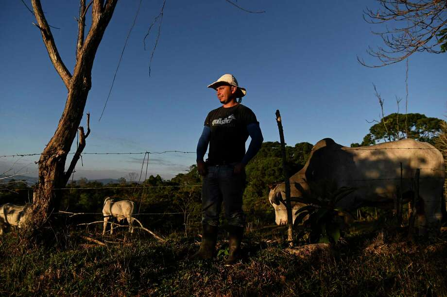 Dario Angulo with his cattle in Santa Teresa de Cajon, Costa Rica. Photo: Washington Post Photo By Carolyn Van Houten / The Washington Post