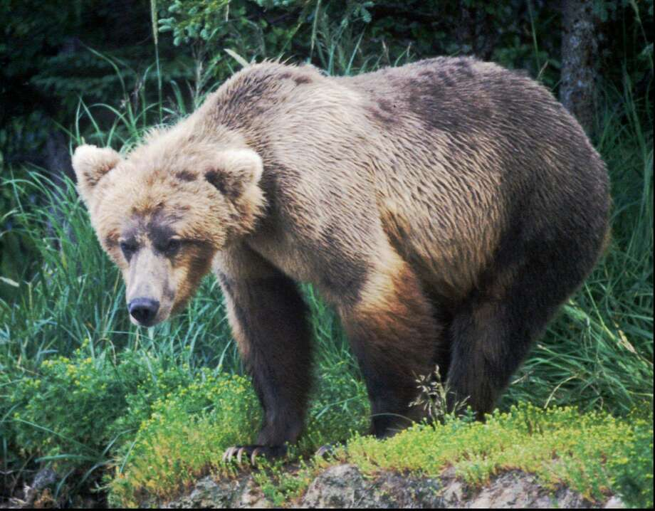 A brown bear lurks in the wilderness of Katmai National Park in Alaska in this undated file photo. Photo: Associated Press / AP