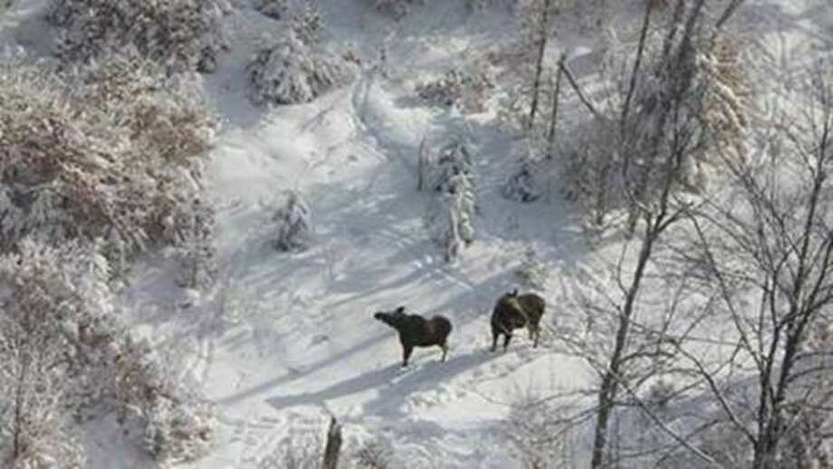 The state DEC has completed an aerial Adirondack moose survey that takes place each year as part of a collaborative study of the health of New York's moose population. (Photo: New York State Department of Environmental Conservation)