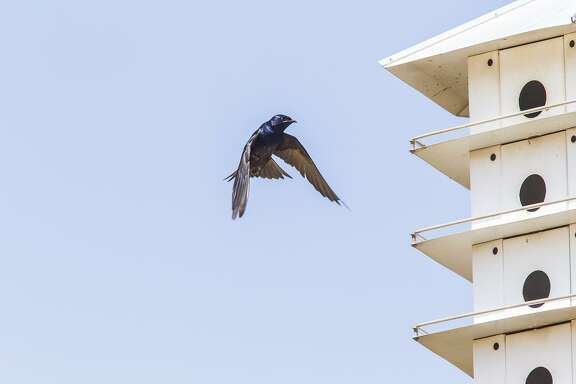 Now is the time to install a purple martin house or clean existing houses. Purple martins are arriving in the area to scout for suitable colonial nest boxes. Photo Credit: Kathy Adams Clark Restricted use.