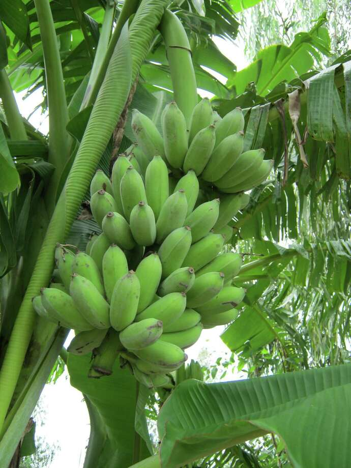 The dwarf Namwah banana will be on sale at the Urban Harvest Fruit Tree Sale. Photo: Urban Harvest / Urban Harvest