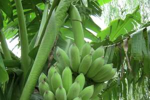 The dwarf Namwah banana will be on sale at the Urban Harvest Fruit Tree Sale.