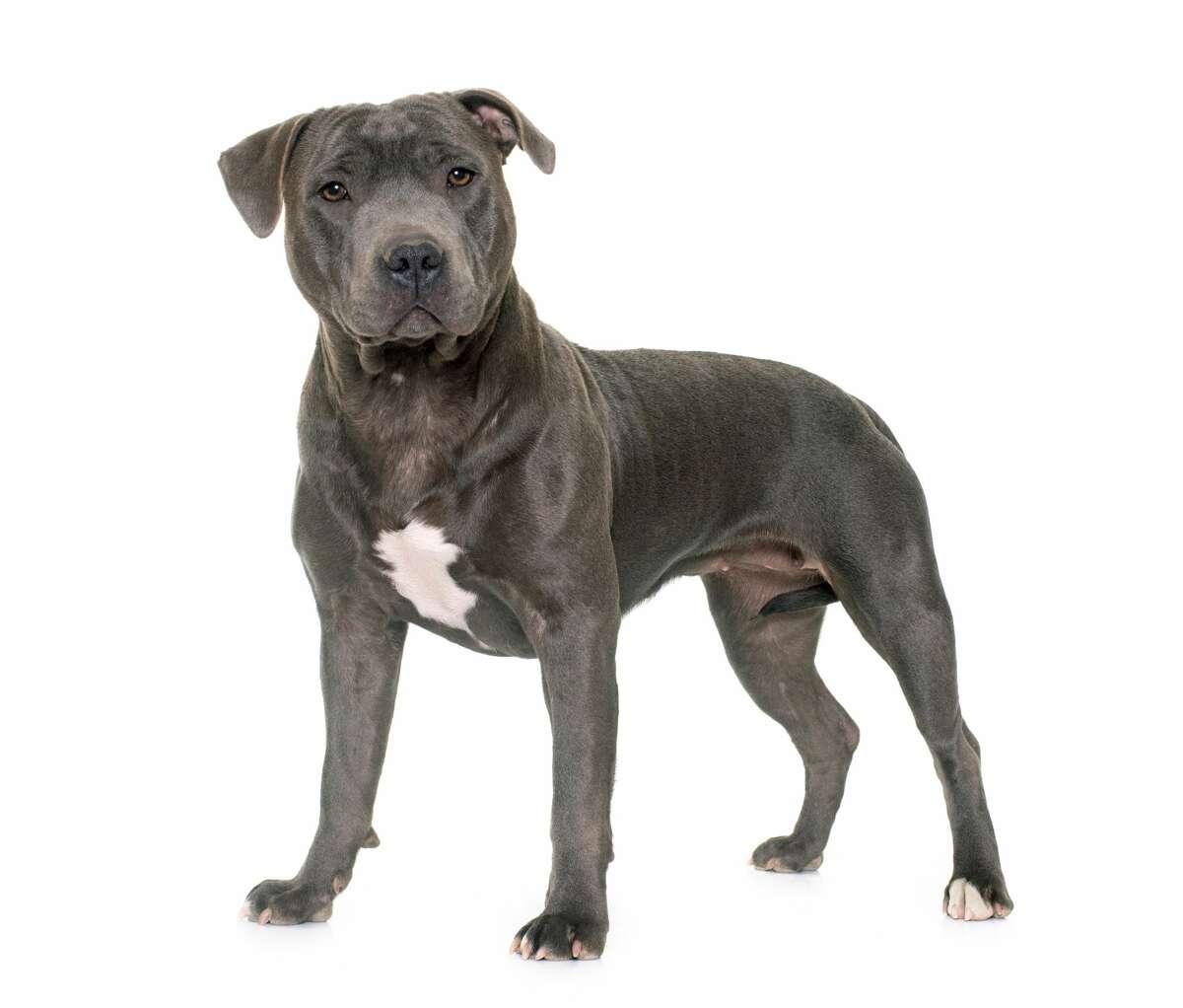 Breed: Mastiff/pit bullNumber of dogs: 27