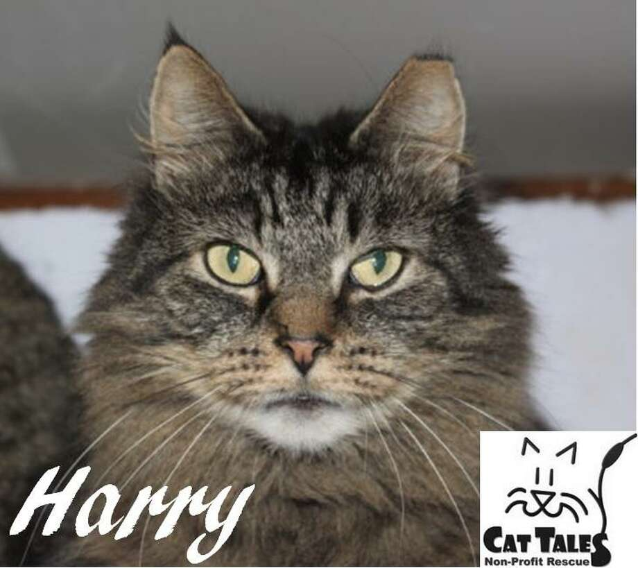 """Harry, a 6-year-old brown male tabby, is waiting to be adopted. He says, """" I was a stray rescued off the streets in Middletown. I'm still a bit shy around people, but I'm coming around when people show me kindness. I'm a very sweet boy and like attention and petting once I know you. I need a very quiet home with a patient person who is willing to give me all the time I need to adjust. Please adopt me."""" Visit http://www.CatTalesCT.org/cats/Harry, call 860-344-9043 or email. info@CatTalesCT.org. Watch our TV commercial: https://youtu.be/Y1MECIS4mIc Photo: Contributed Photo"""