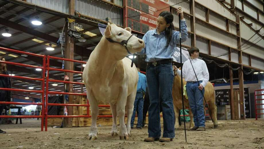 Meagan Buck of Kingwood Park High School prepares her steer for judging at the 72nd Humble Rodeo & BBQ Cook-Off from Feb. 1 to Feb. 9, 2019. Photo: Nguyen Le / Staff Photo