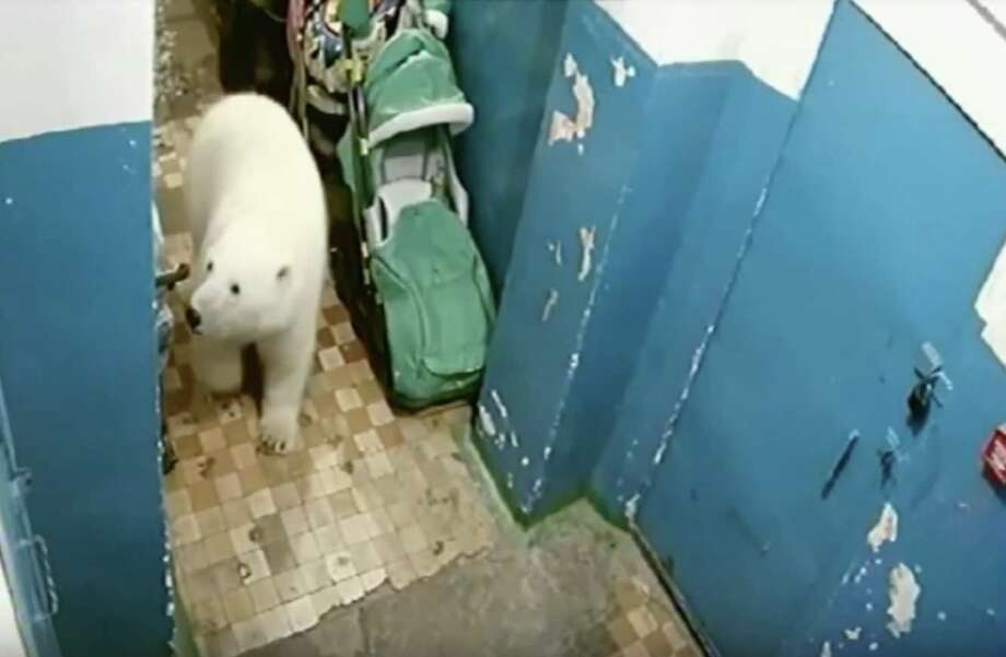 Thinning sea ice has driven more than 50 polar bears ashore on an Arctic archipelago in northern Russia, causing chaos for the local population.   Endangered species >>>>  Photo: Screengrab Via YouTube