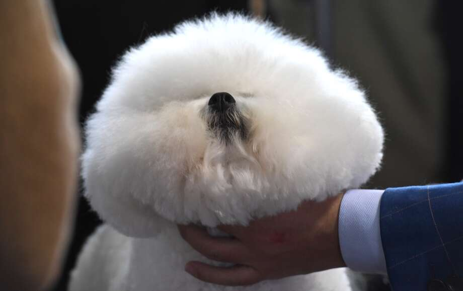 A Bichon Frise is viewed in the benching area during the Daytime Session in the Breed Judging across the Hound, Toy, Non-Sporting and Herding groups at the 143rd Annual Westminster Kennel Club Dog Show at Pier 92/94 in New York City on February 11, 2019. Photo: TIMOTHY A. CLARY/AFP/Getty Images