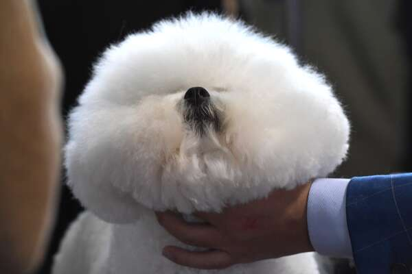 A Bichon Frise is viewed in the benching area during the Daytime Session in the Breed Judging across the Hound, Toy, Non-Sporting and Herding groups at the 143rd Annual Westminster Kennel Club Dog Show at Pier 92/94 in New York City on February 11, 2019.
