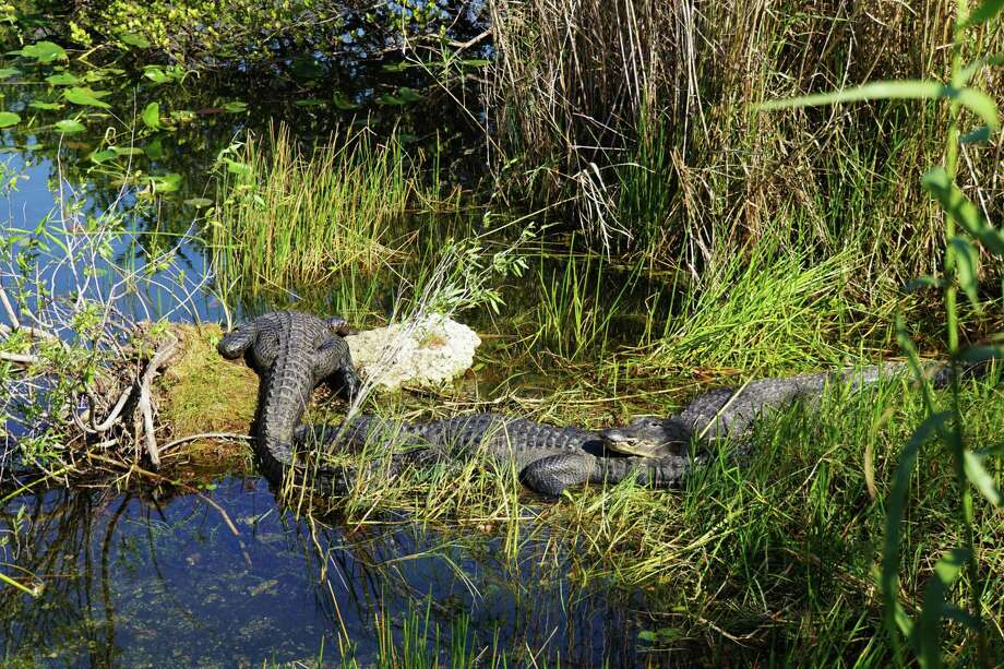 This photo shows Florida alligators in the Anhinga Trail in Everglades National Park in Homestead, Florida, on Jan. 16. Photo: LEILA MACOR, Contributor / AFP/Getty Images / AFP or licensors