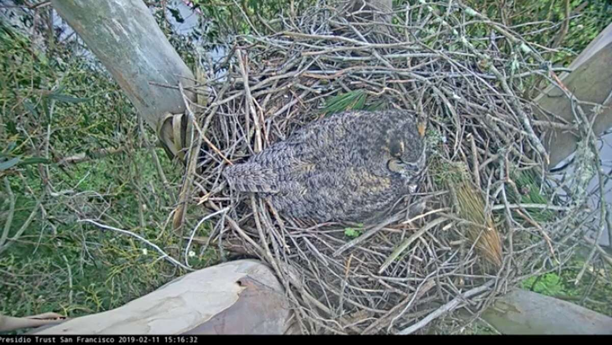 An owl took over a red-tailed hawk nest, high up in a eucalyptus tree in the Presidio, that ecologists have been watching on a webcam since last year.
