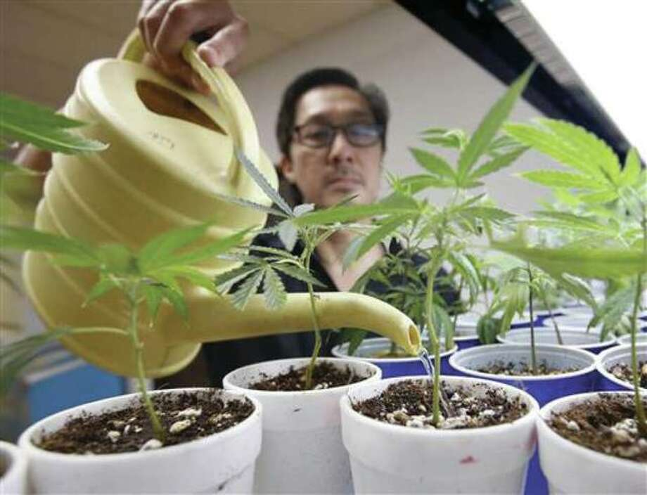 In Aug. 19, 2015, file photo, Canna Care employee John Hough waters young marijuana plants at the medical marijuana dispensary in Sacramento, Calif. Photo: (AP Photo/Rich Pedroncelli, File