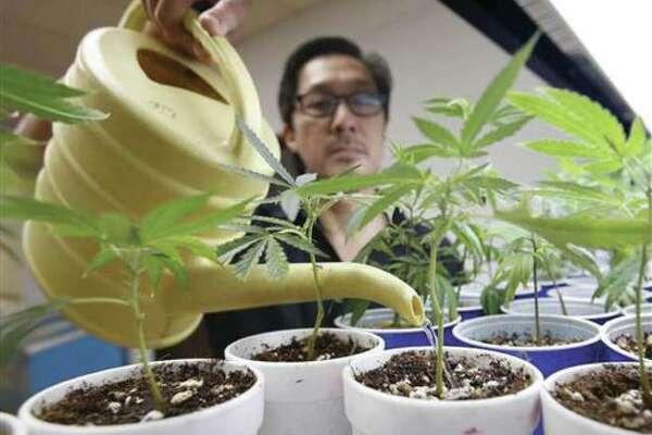 In Aug. 19, 2015, file photo, Canna Care employee John Hough waters young marijuana plants at the medical marijuana dispensary in Sacramento, Calif.