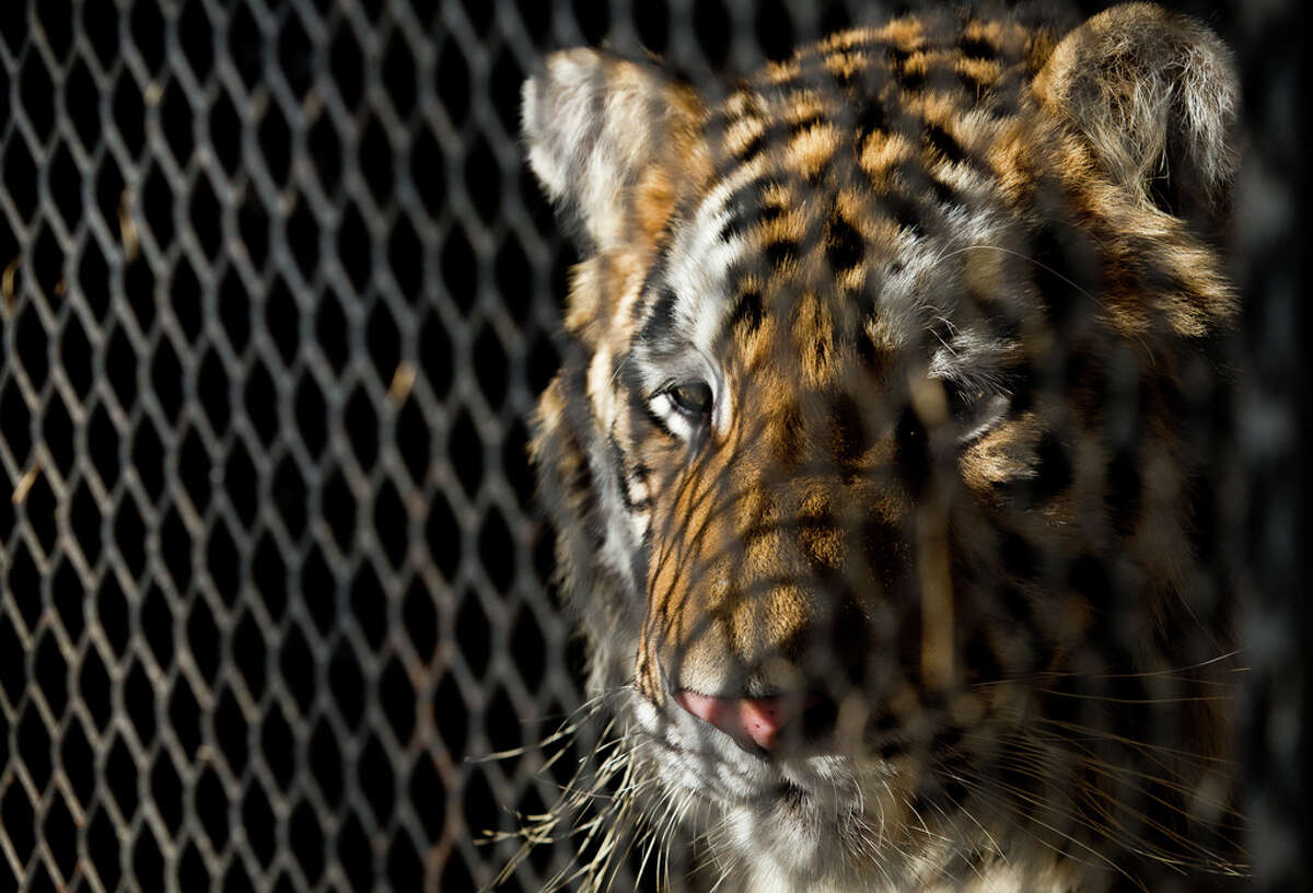 The tiger that was found in a Southeast Houston residence awaits transport to a rescue facility at the BARC Animal Shelter and Adoptions building Tuesday, Feb. 12, 2019.