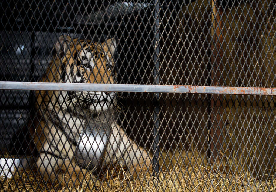 The tiger that was found in a Southeast Houston residence awaits transport to a rescue facility at the BARC Animal Shelter and Adoptions building Tuesday, Feb. 12, 2019. Photo: Godofredo A. Vasquez, Staff Photographer / 2018 Houston Chronicle