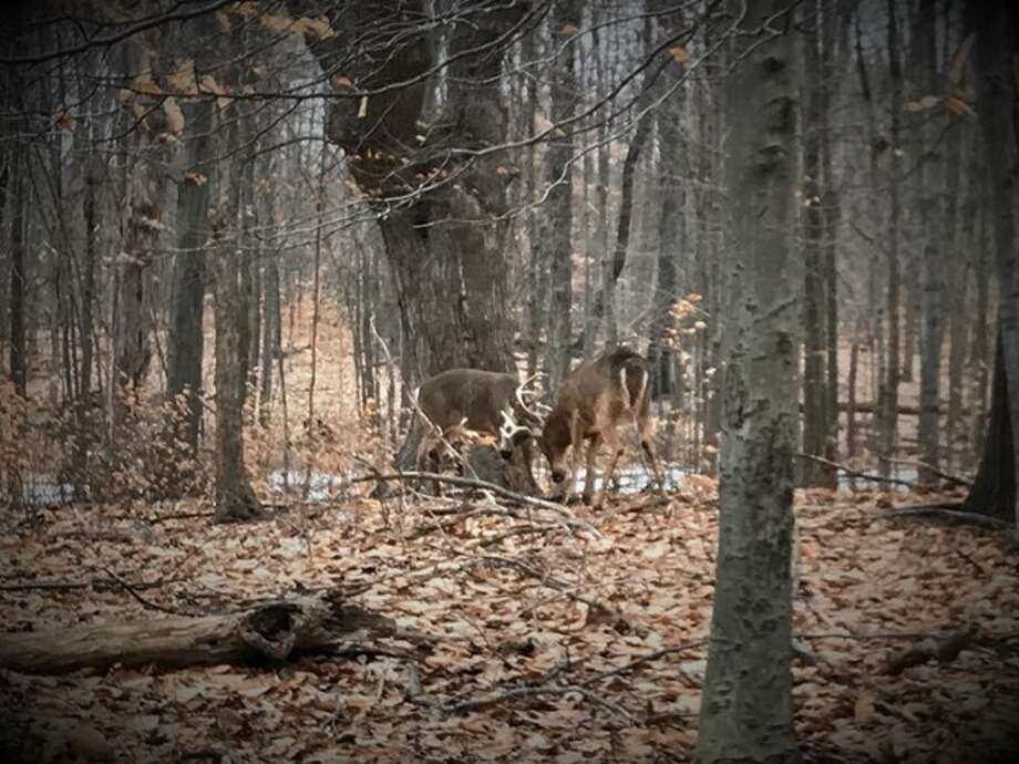 The state Department of Environmental Conservation released a photo of two adult male deer entangled by their antlers in Cheektowaga, Erie County, in February 2019. Officers separated the deer, who appeared to be uninjured. Photo: State Department Of Environmental Conservation