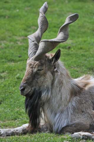 A US trophy hunter pays $110,000 to kill a rare mountain goat in
