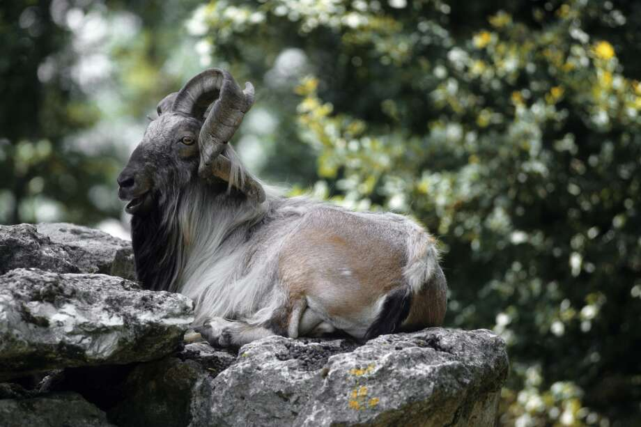 An adult markhor lying down a rock. Photo: Gilles MARTIN/Gamma-Rapho Via Getty Images