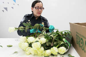 Customs and Border Patrol agriculture specialist Gisel Medina Bobe inspects a commercial cut flower shipment from Columbia on Tuesday, Feb. 12, 2019, in Houston. CBP inspects imports on a daily basis to ensure that significant pests and plant diseases do not devastate the agriculture industry.