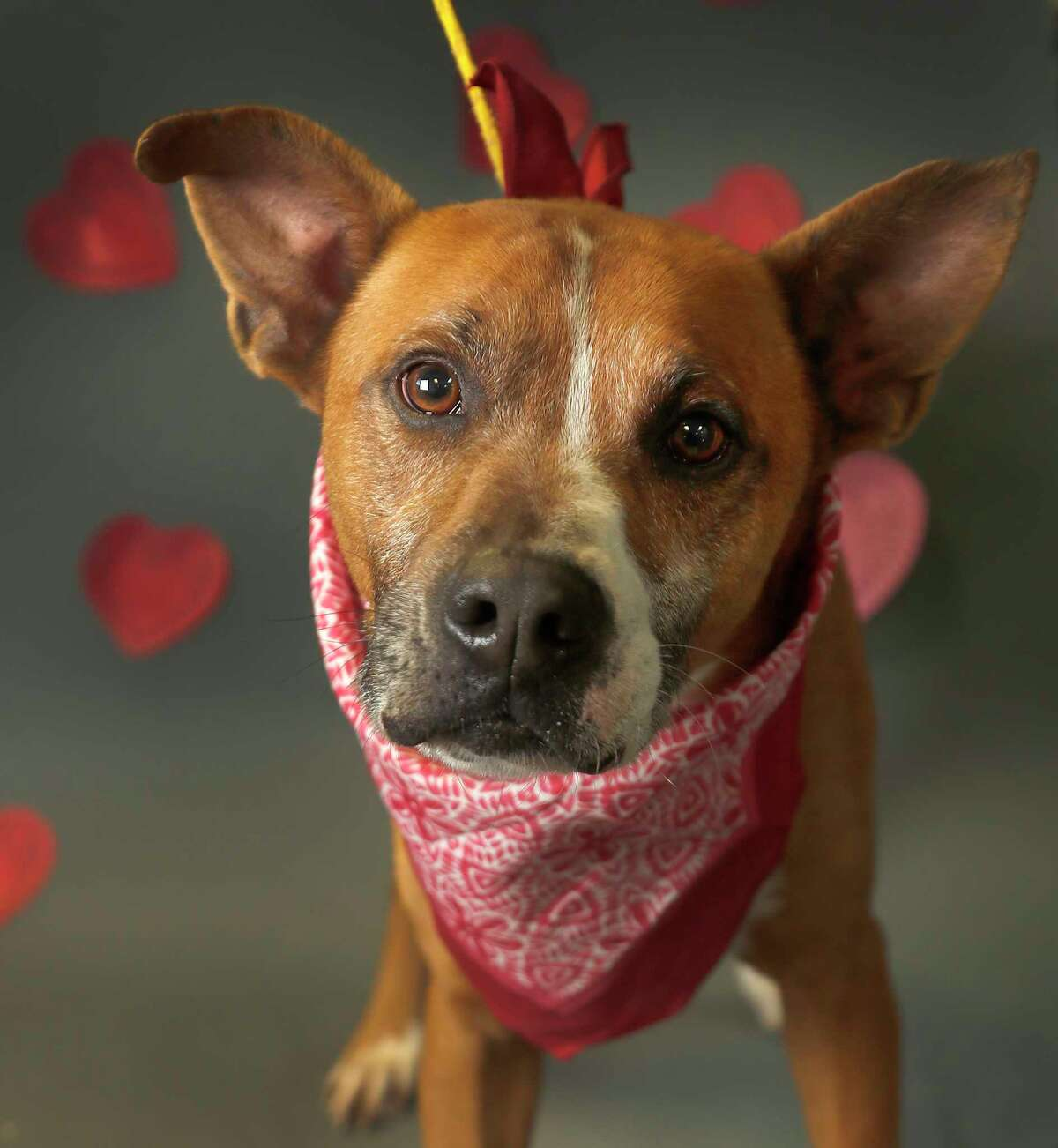 Prince is a 5-year-old, male, Boxer mix, who has heartworms and is ready to be adopted for $5. from Harris County Animal Shelter. (Animal ID: A526735) Photographed Tuesday, Feb. 12, 2019, in Houston. Prince is eligable for post adoption heartworm treatment through the Heal a Heart program.