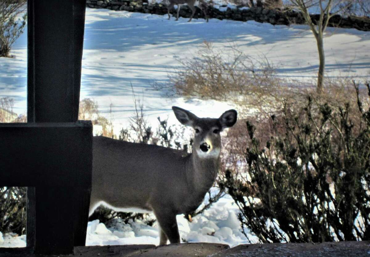 """Timing pays off, even after three decades. Here's the story from Barbara A. Semeiks of Coxsackie, who looked out her window one day last month and saw this deer munching on her favorite bush, yews. """"When I looked out my kitchen window, there were two of them coming up our path. I quickly ran upstairs and got my small digital Cannon camera. I tried to find the best position as the deer were under our deck and I could not see them. So, lo & behold, I scooted myself up on the kitchen counter, and stood in my sink, and captured her looking at me right at that exact moment! (So thrilled, as I have never, in all the 31 years of living here, ever got one so close.)"""""""