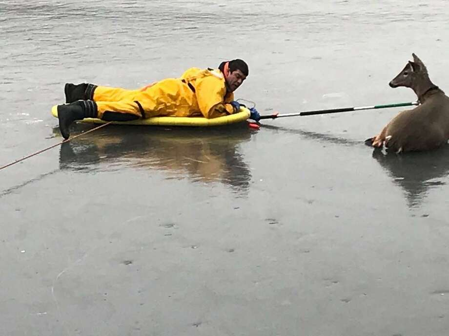 Woodbridge, Conn., firefighters rescued a deer stranded on ice on Feb. 12, 2019. Photo: Contributed Photo / Woodbridge Volunteer Fire Department
