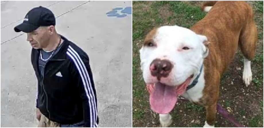 San Antonio Animal Care Services is looking for a female Staffordshire Bull Terrier named Trixie who was allegedly stolen from the kennel on Feb. 7. Trixie is an owned, microchipped pet whose owners were coming for her. Photo: Courtesy Of San Antonio Animal Care Services