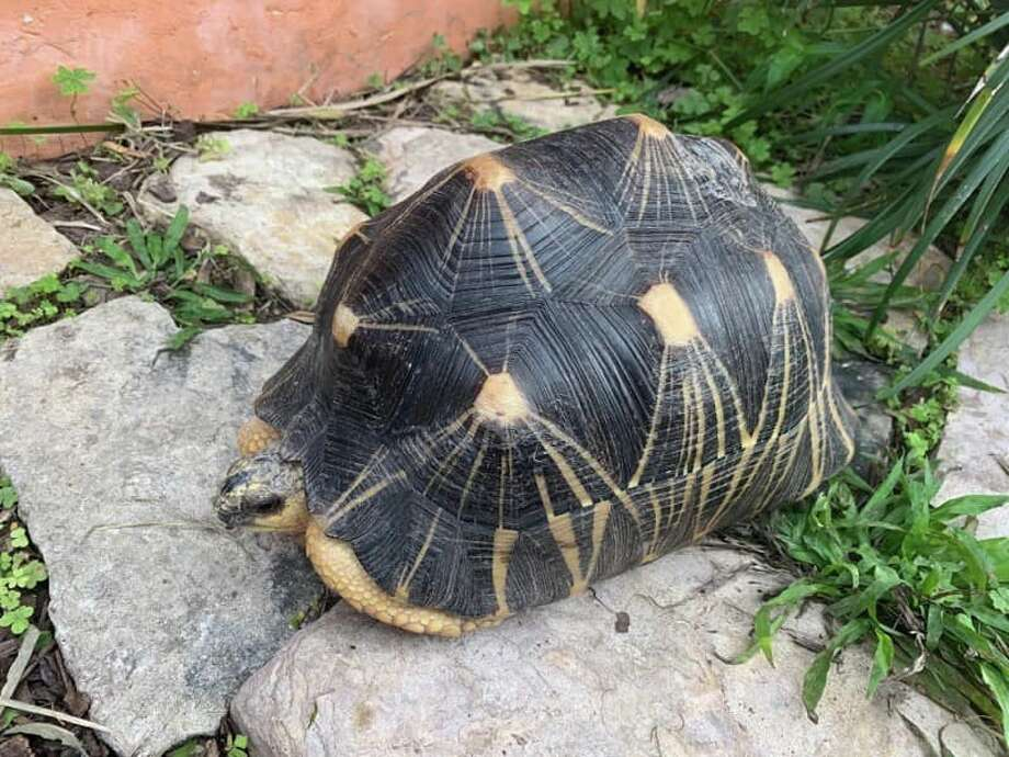 Julio Cesar Marroquin, 23, was charged with State Jail Felony Theft Tuesday in connection to a 14-year-old tortoise that was reported stolen from Gladys Porter Zoo in Brownsville last week. Photo: Courtesy Of Brownsville Police Department