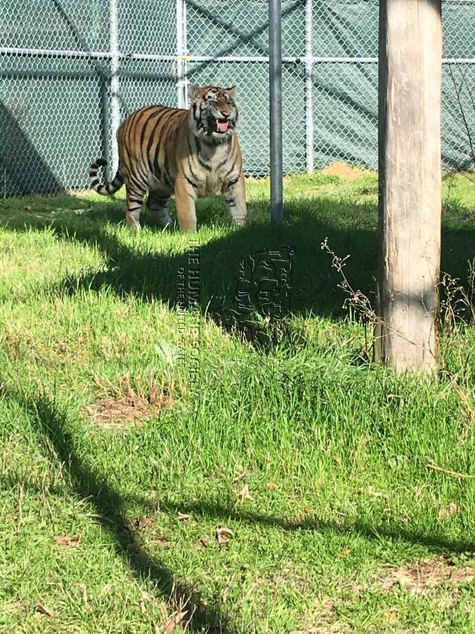 Tyson, the tiger found caged inside a southeast Houston home, is seen at the Cleveland Amory Black Beauty Ranch south of Dallas on Wednesday, Feb. 13, 2019. Photo: Humane Society Of The United States