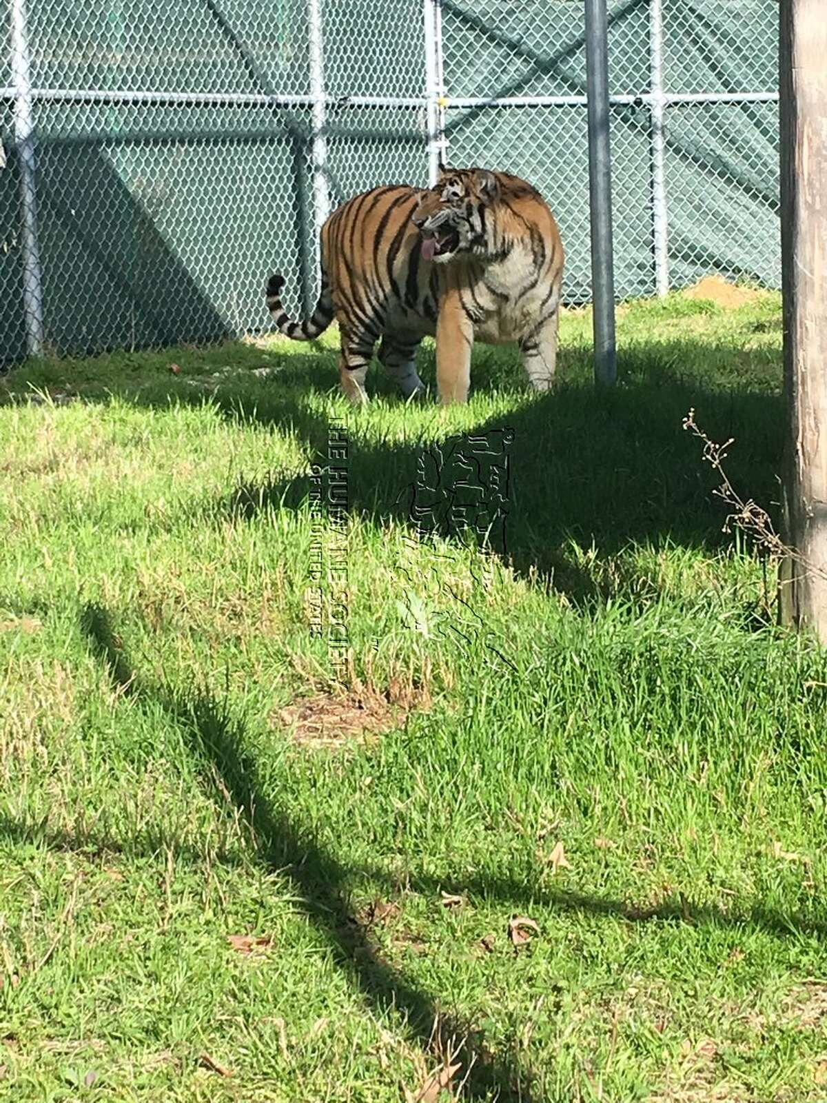 Tyson, the tiger found caged inside a southeast Houston home, is seen at theCleveland Amory Black Beauty Ranch south of Dallas on Wednesday, Feb. 13, 2019.