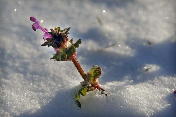 A henbit flower stands defiantly above the snow.