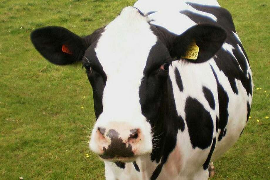 File photo of a cow.  Keep clicking to see photos of snow from Seattle's most recent storms...