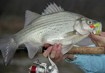 The White Bass Are Here And They Re Biting Houstonchronicle Com