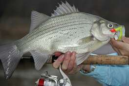 White bass taken in most Texas rivers during the annual spawning run average a little more than a pound in weight, but those from forage-rich East Texas waters such as the Sabine River often top 2 pounds with 3-pounders sometimes landed.