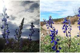 Bluebonnets have begun to bloom across Texas, the Texas Parks and Wildlife Department announced via an Instagram post Feb. 13, 2019.