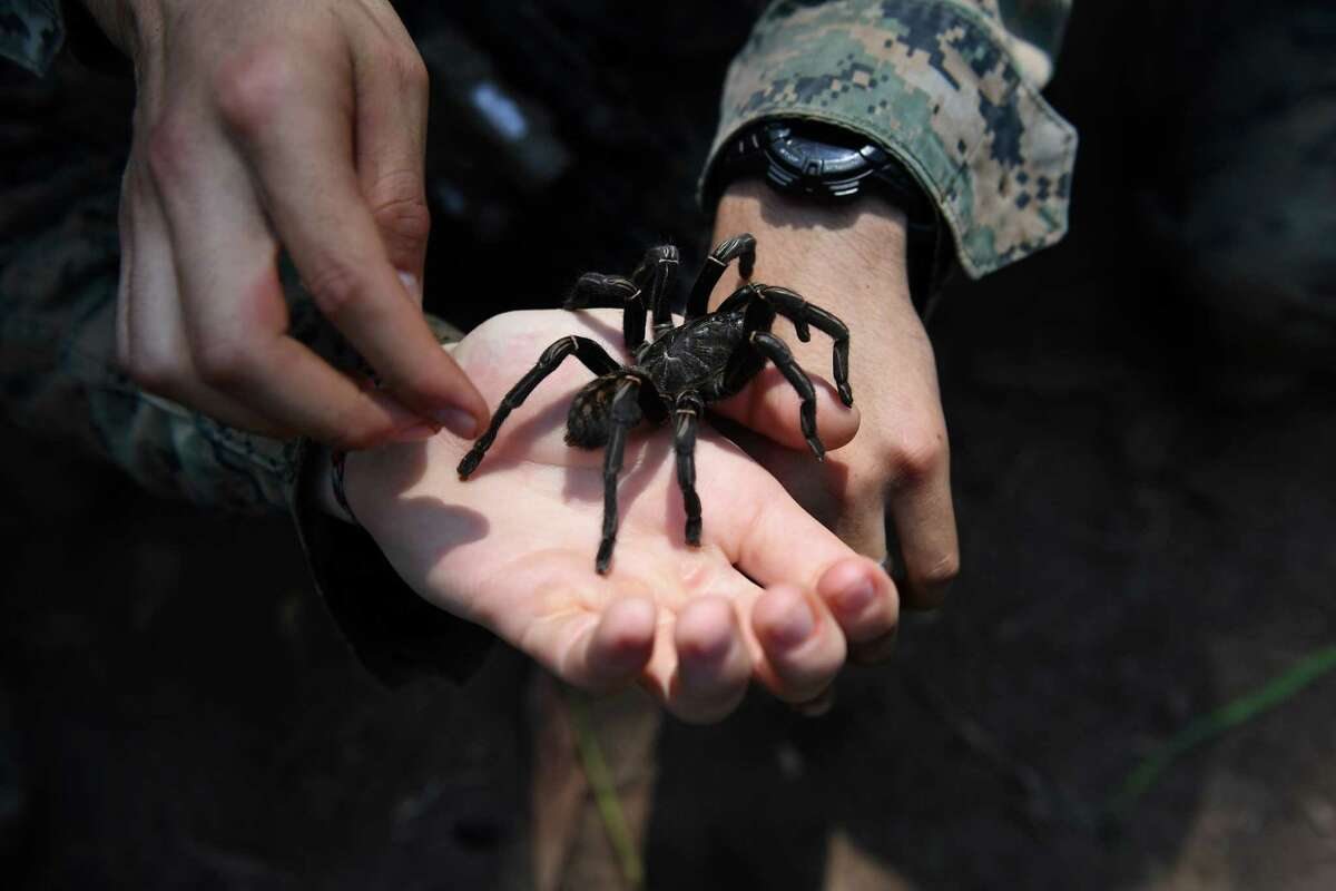 US Marine soldiers hold a tarantula during a jungle survival training with Thai soldiers in the joint 'Cobra Gold' military exercise in Chantaburi province on February 14, 2019. - The US and Thailand hold on February 14, the annual joint 'Cobra Gold', the largest US-led military exercises in Asia involving gruelling drills in the Thai jungle, war games, humanitarian assistance and disaster relief exercise. (Photo by Lillian SUWANRUMPHA / AFP)LILLIAN SUWANRUMPHA/AFP/Getty Images