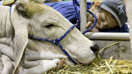 Chase Braun, or Roxton, Texas, sleeps next to a Gray Brahman, during the Houston Livestock Show and Rodeo at NRG Park.