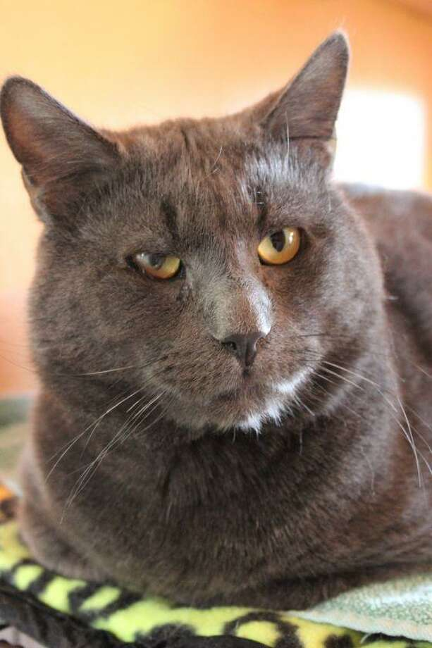 Wonton is a sweet, sweet cat. He gets along with everyone, including other cats, and is extremely loving. He can't get enough attention and always hungry for more. To reach Mary's Kitty Korner, email marys.kitty.korner@sbcglobal.net, or call 860-379-4141 or 413-297-0537. Photo: Contributed Photo