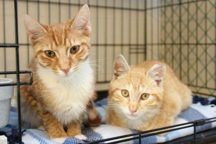 These two stunning kitties are a bonded pair who are ready for their forever home together. They're available at our adoption center in Granby with wet food on hand and their favorite toys. Come visit them. To reach Mary's Kitty Korner, email marys.kitty.korner@sbcglobal.net, or call 860-379-4141 or 413-297-0537. Photo: Contributed Photo