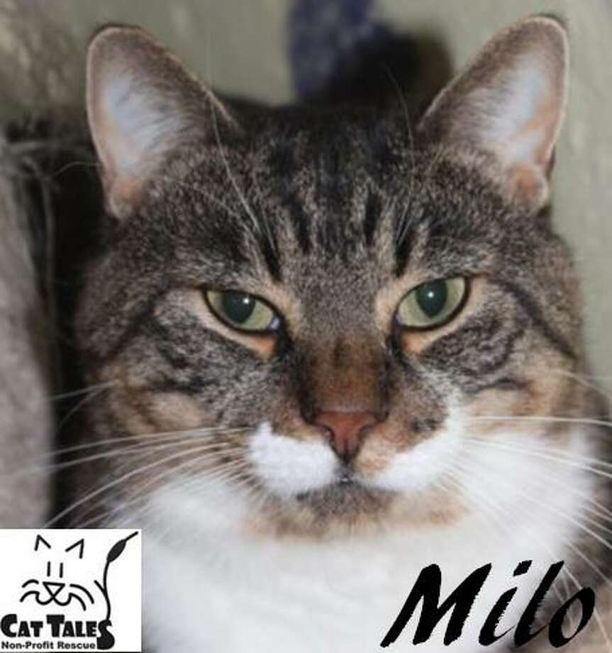 """I'm Milo and I've lived most of my life thus far outside, fending for myself. So I am stoked that I am now safe and cared for. Scratches and belly rubs are totally my thing and I really enjoy getting petted as well. I am very affectionate and loving. My best friend is Bailey. We'd love to be adopted together if possible. Our dream is that someone will adopt us and build us a catio (it's OK if you can't do this though). I'm FIV+and I'm not contagious to humans. This is also very difficult for other cats to catch (we'd have to exchange blood). I hope you are MY patient person who is willing to just love me for who I am. I'd love to curl up with you on the couch. Please adopt me, and maybe my best friend Bailey too?"" Visit http://www.CatTalesCT.org/cats/Milo-2, call 860-344-9043 or email info@CatTalesCT.org. Watch our TV commercial: https://youtu.be/Y1MECIS4mIc Photo: Contributed Photo"
