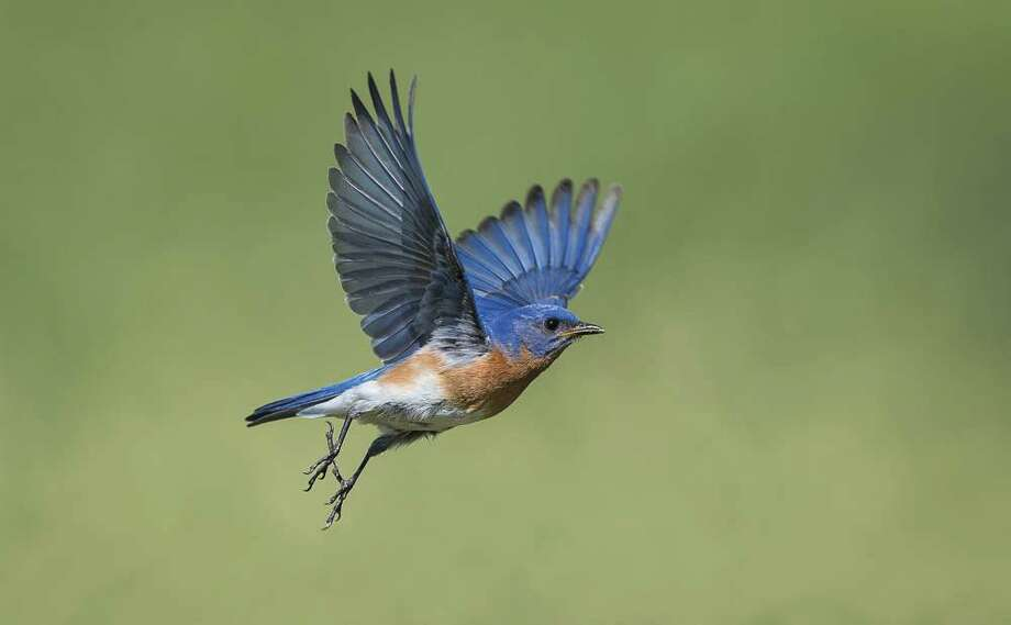 "Backyard birds are one of the best indicators that springtime has arrived. Birds are extremely sensitive to weather. Bluebirds, for instance, are good harbingers. As the old poem goes: ""Bluebirds are a sign of spring and gentle south breezes they bring."""