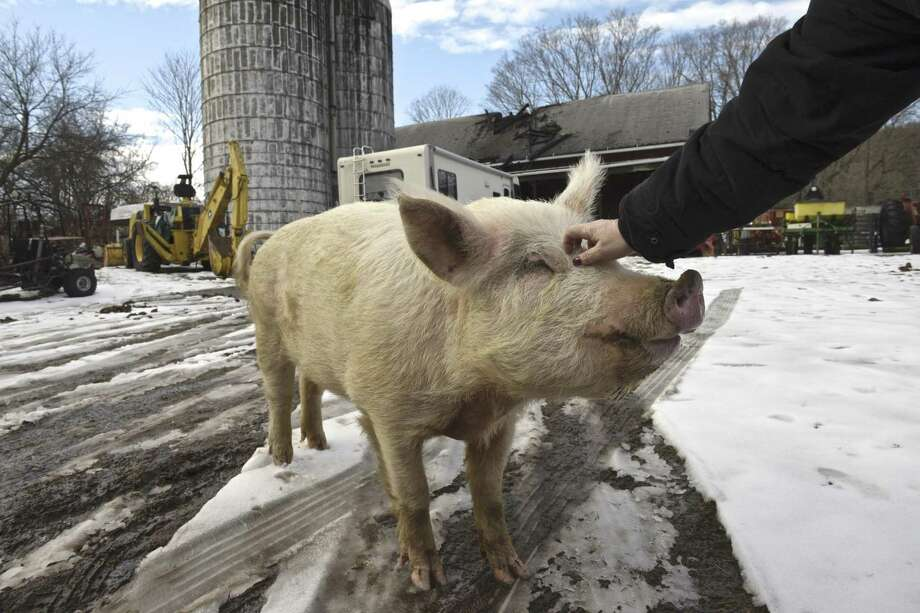 Peggy Pig has her head scratched by Willow Schultz outside the burned barn at Clatter Valley Farm. Photo: H John Voorhees III / Hearst Connecticut Media / The News-Times