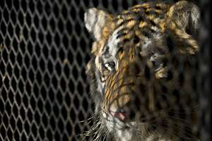 """In this Tuesday, Feb. 12, 2019 photo, a tiger that was found in a Southeast Houston residence awaits transport to a rescue facility at the BARC Animal Shelter and Adoptions building in Houston. A woman who called Houston's non-emergency dispatch line after discovering a tiger inside a cage at an abandoned home told the shocked dispatcher: """"I'm not lying."""" Police say a group of people looking for a place to smoke marijuana happened across the tiger on Monday, Feb. 11. (Godofredo A. Vasquez/Houston Chronicle via AP)"""