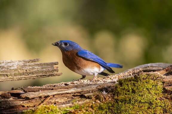 Birds are announcing the arrival of spring. Eastern bluebirds are singing on territory and attracting mates to backyard bluebird boxes. Photo Credit: Kathy Adams Clark Restricted use.