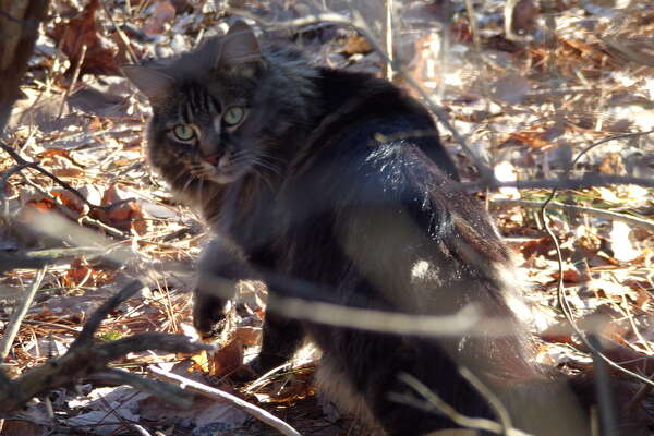 Frederick Schreyer of Averill Park observed this feral cat.