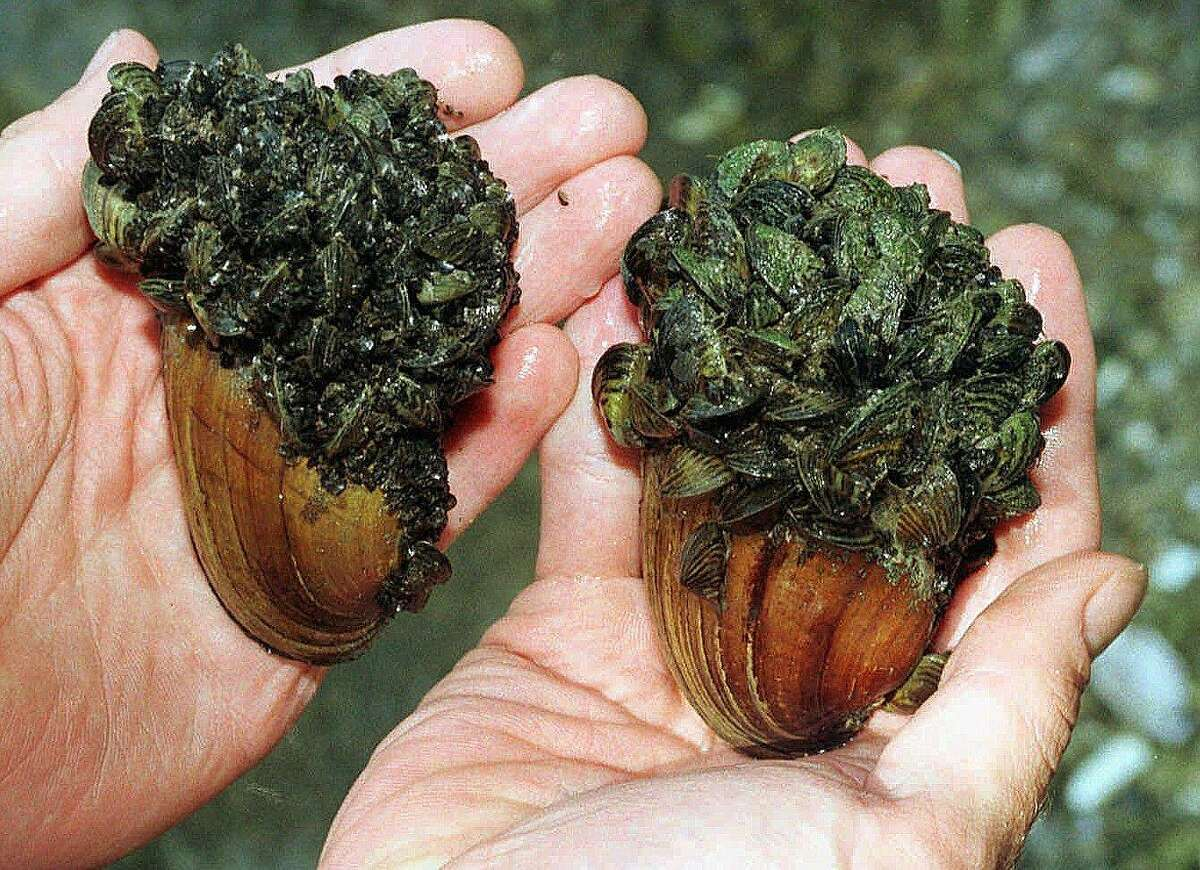 Invasive zebra mussels, now found in five Texas river basins, encrust and suffocate a pair of native clams. The alien bivalves, which explode in population in their new homes, can cripple freshwater ecosystems by out-competing beneficial native clams and consuming massive amounts of nutrients necessary to support native fish and other aquatic life.